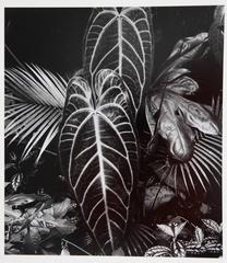 Brett Weston - Leaf Cluster
