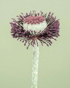 Field Poppy II