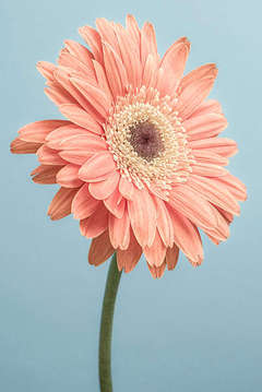 Gerbera on Blue