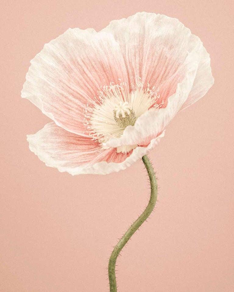 Paul Coghlin - Icelandic Poppy II 1