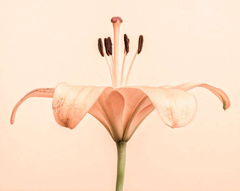 Lily Unfurled