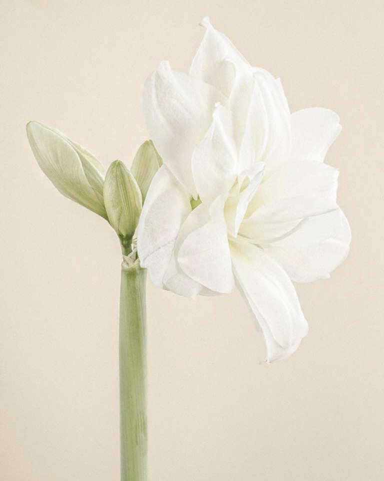 Pale Amaryllis I