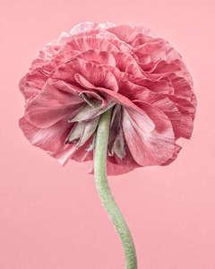 Pink Ranunculus III