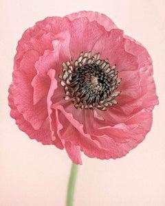 Pink Ranunculus I