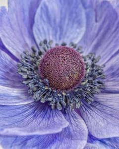 Poppy Anemone II