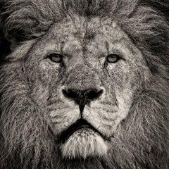 Lion's Stare