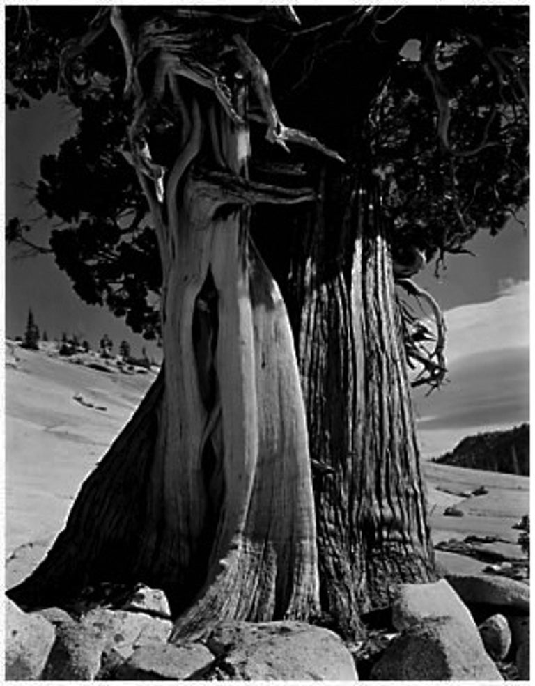 Juniper at Lake Tenaya, 1937
