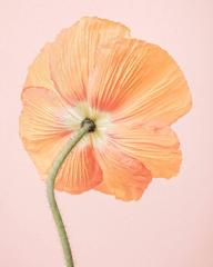 Orange Icelandic Poppy I