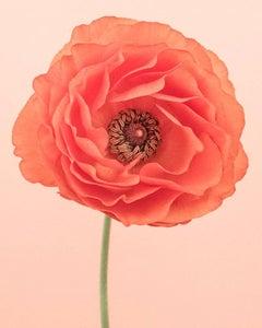 Orange Ranunculus II