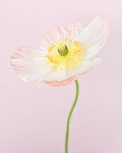 Pale Pink Icelandic Poppy II