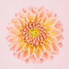 Pink and Yellow Dahlia Circle I