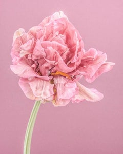 Pink Parrot Tulip I