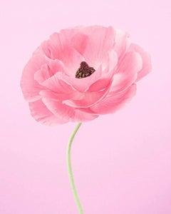 Pink Ranunculus IV