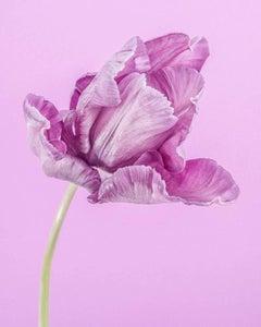 Purple Parrot Tulip I