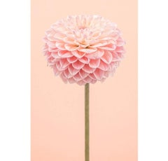 Tall Pink Dahlia I