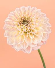 Pink and Yellow Dahlia I