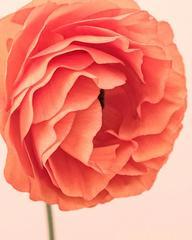 Orange Ranunculus III