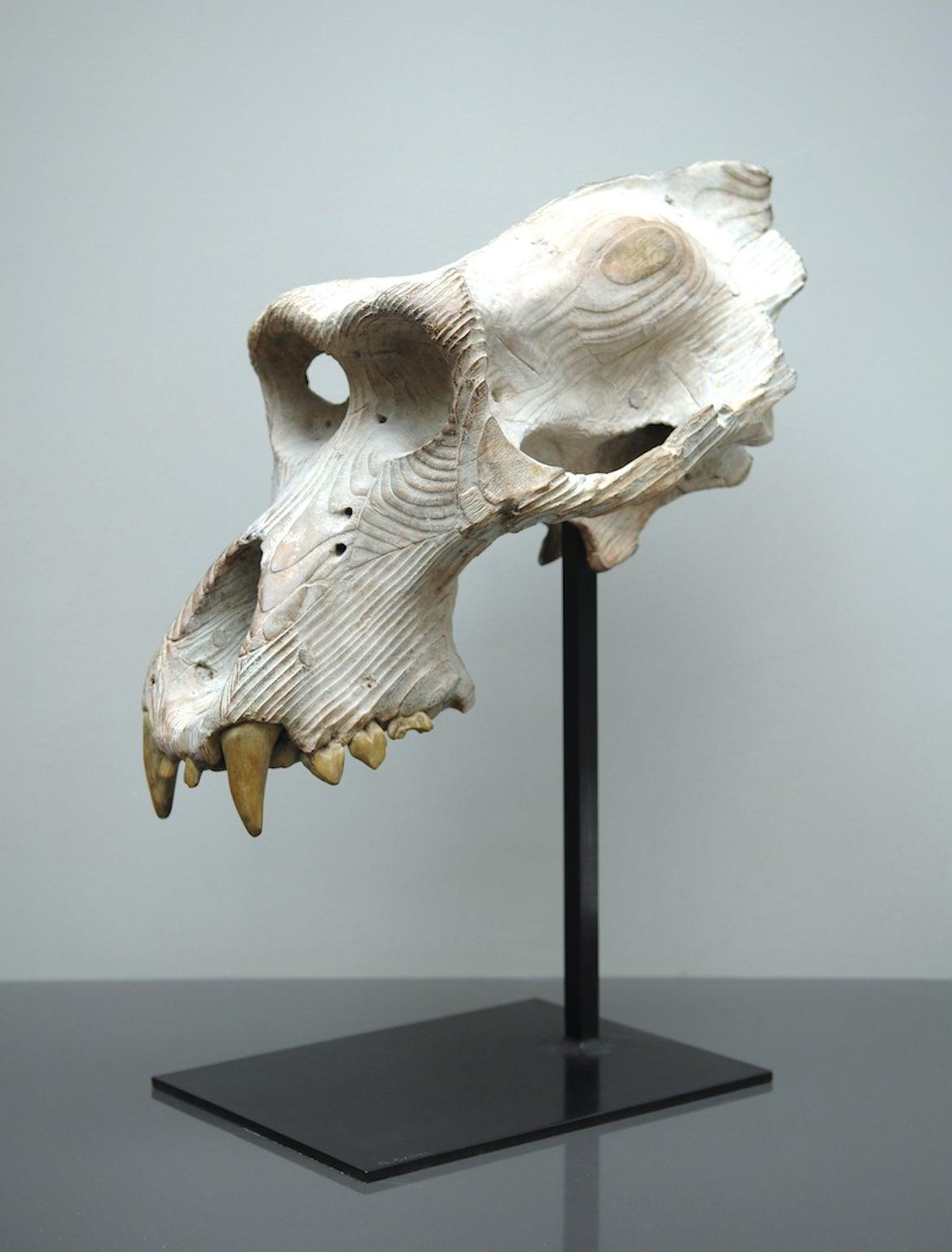 Skull of gorilla