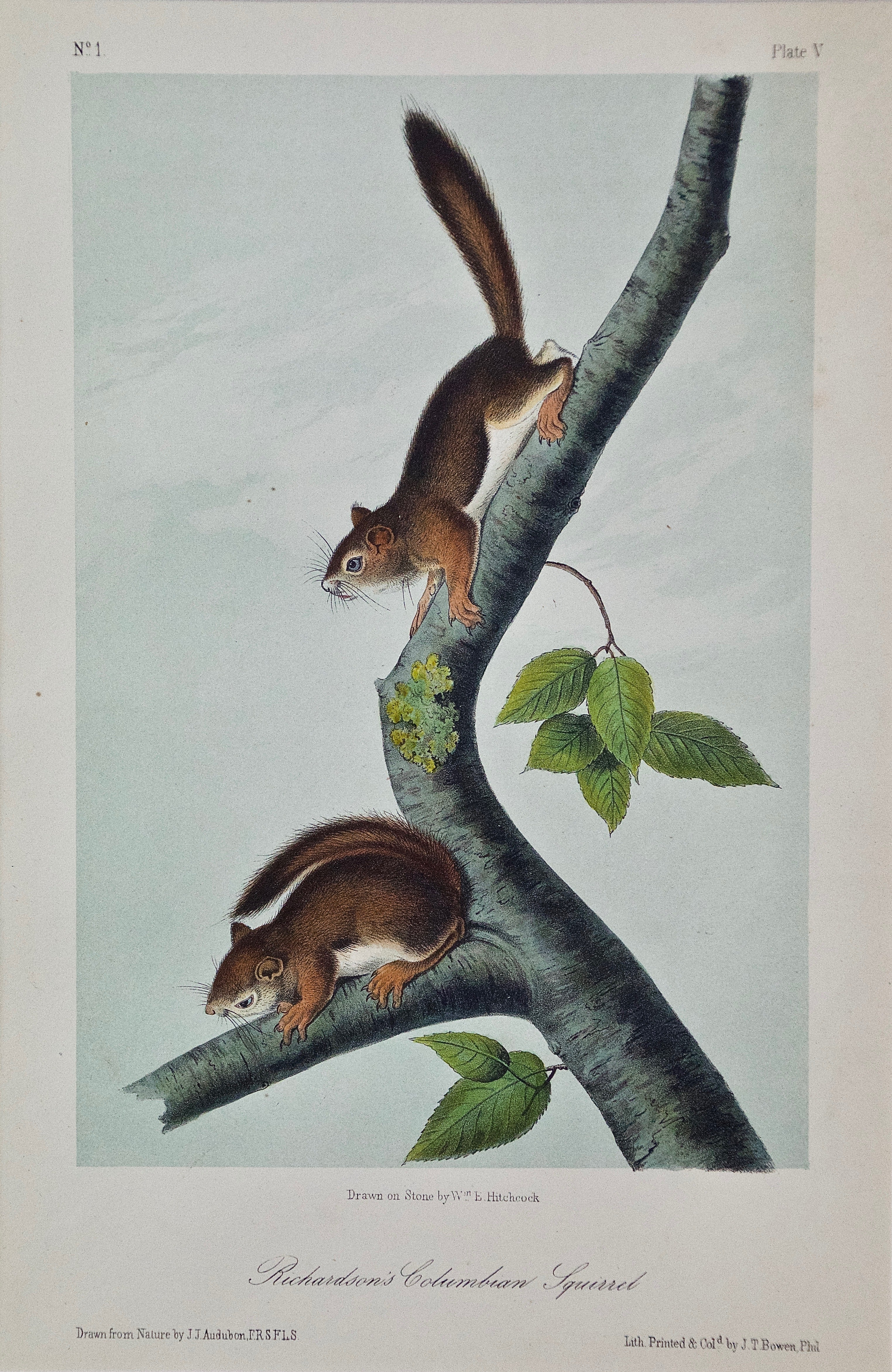 "Original Audubon Hand Colored Lithograph of a ""Richardson's Columbian Squirrel"""
