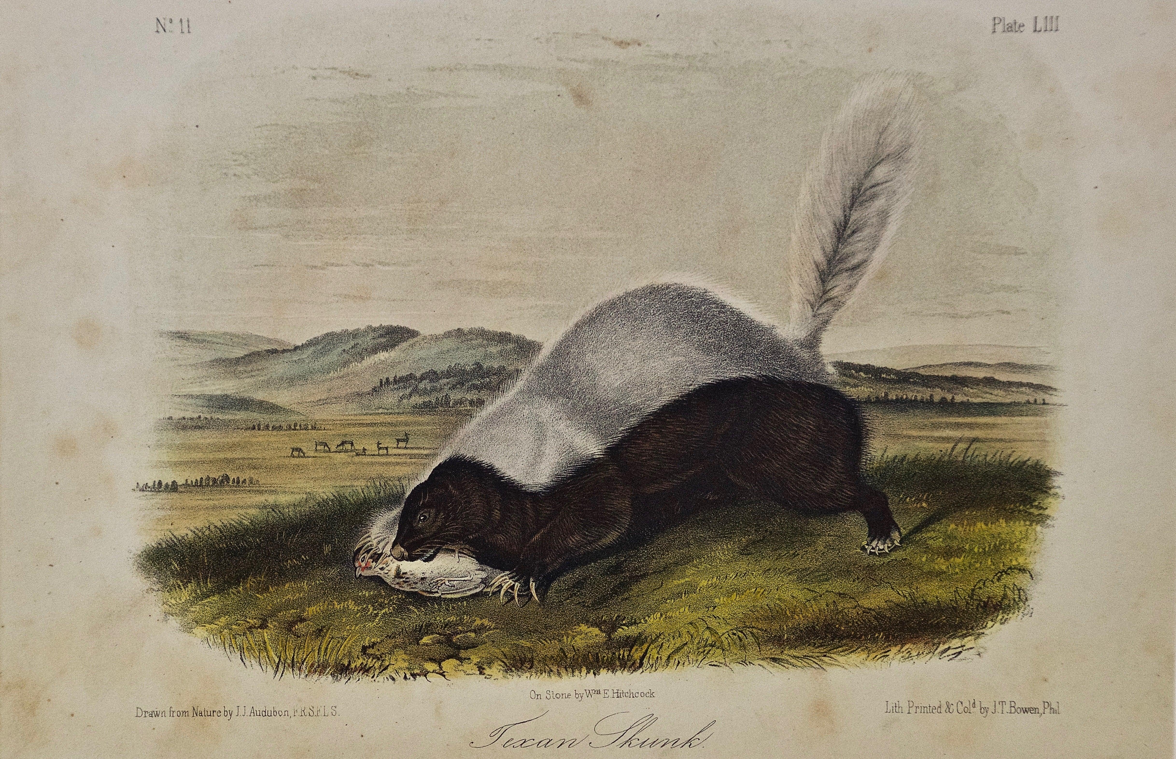 "Original Audubon Hand Colored Lithograph of a ""Texan Skunk"""