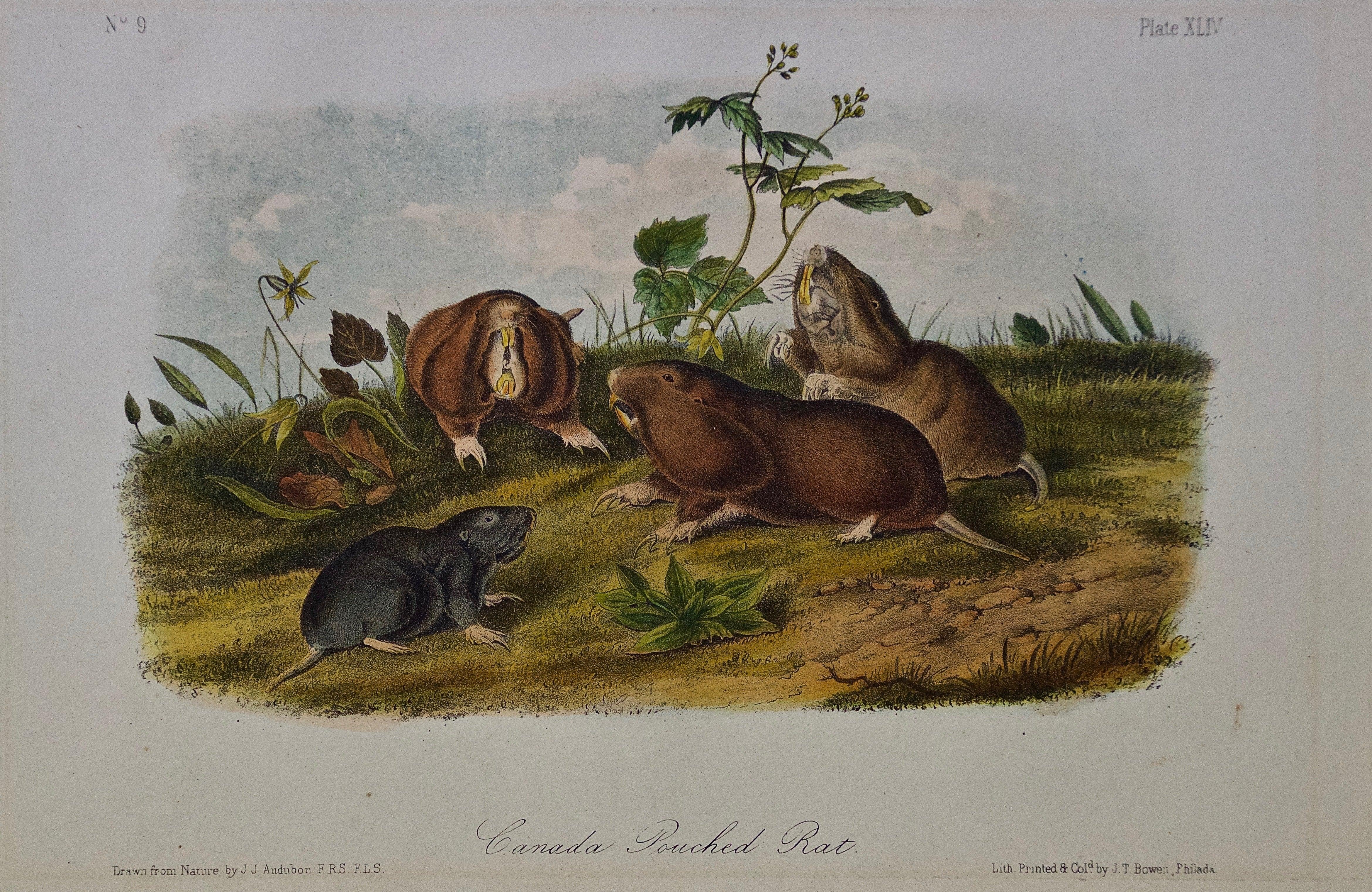 "Original Audubon Hand Colored Lithograph of a ""Canada Pouched Rat"""