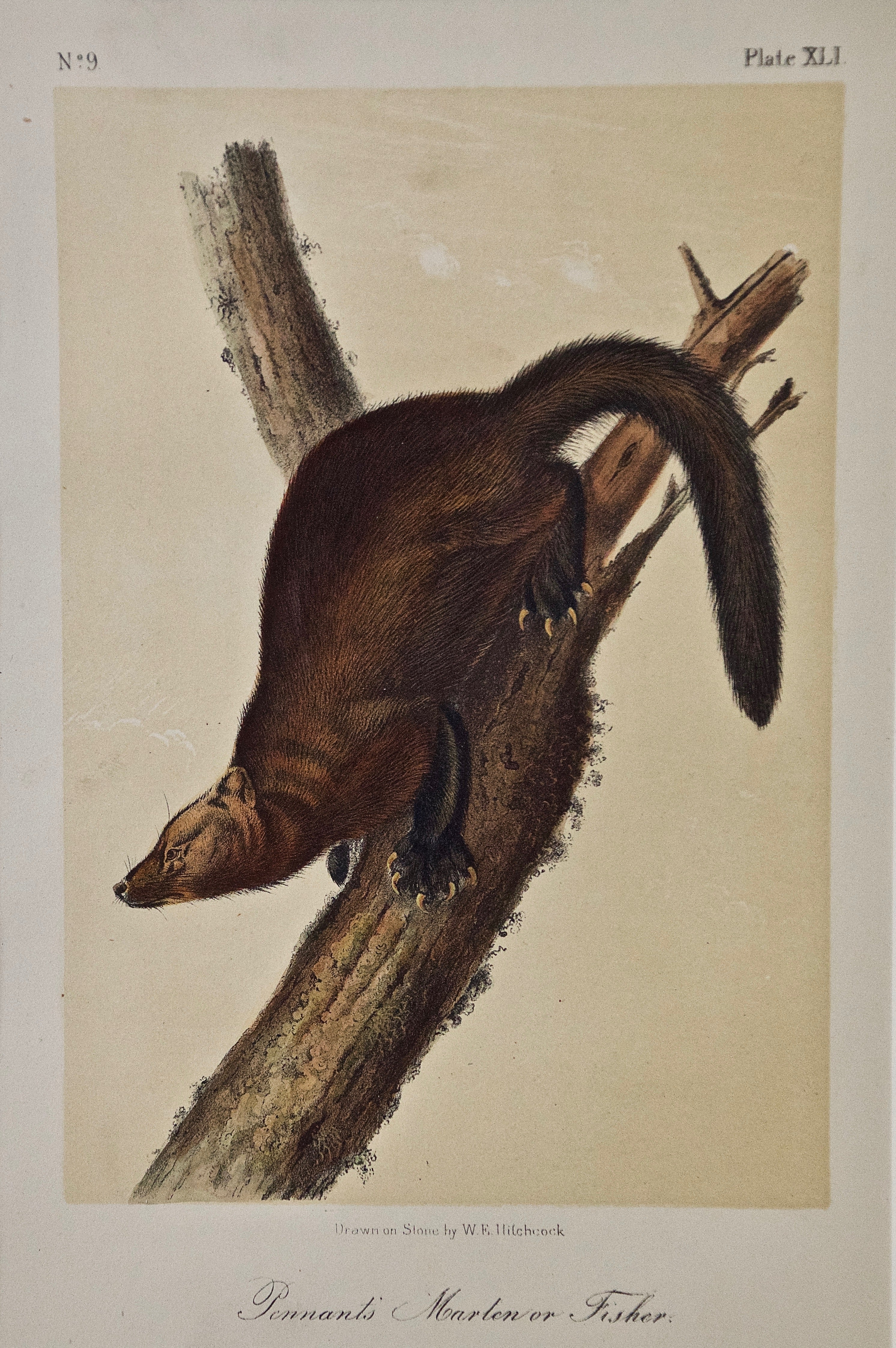 """Original Audubon Hand Colored Lithograph of a """"Pennant's Marten or Fisher"""""""
