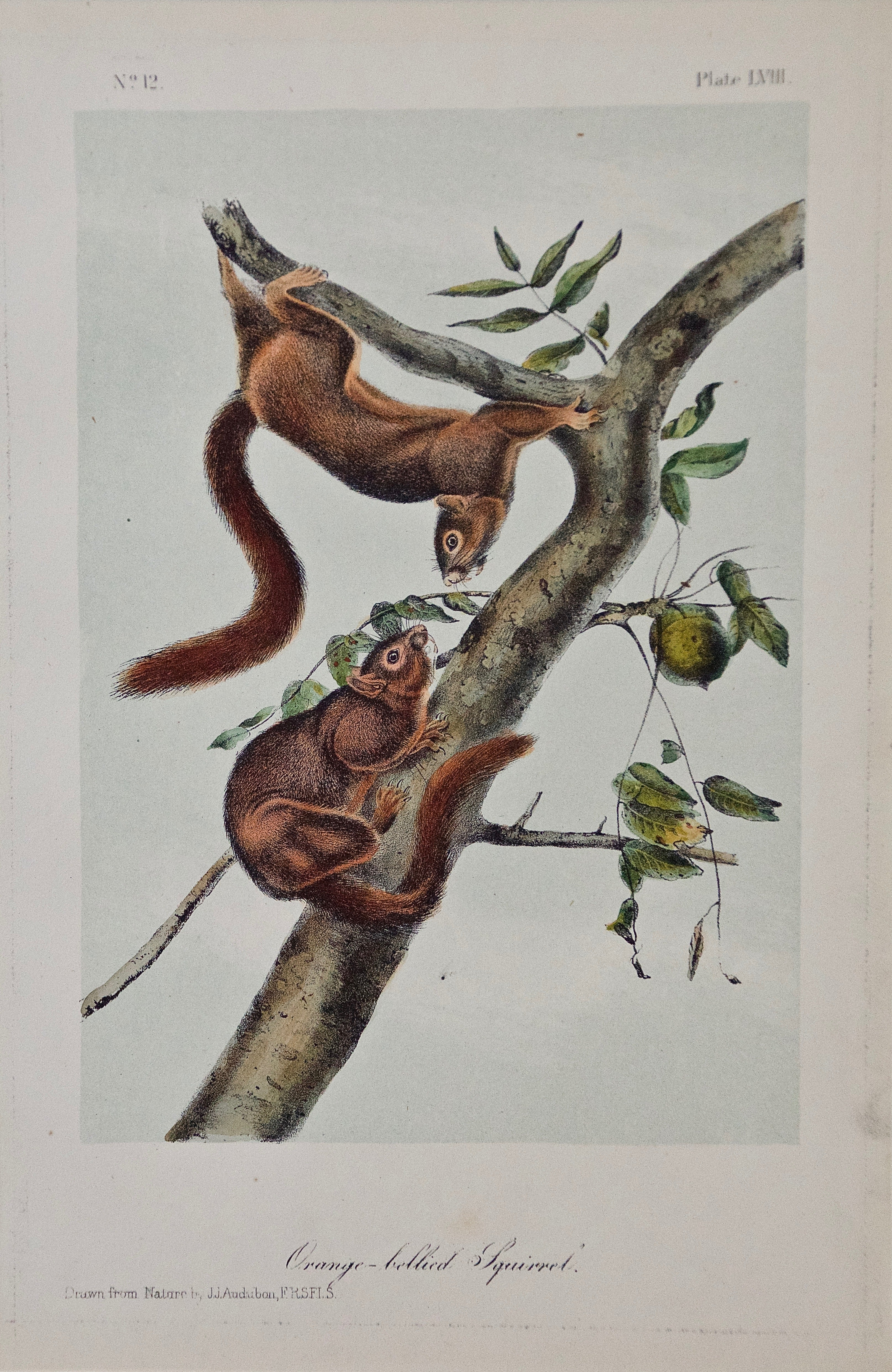 "Original Audubon Hand Colored Lithograph of ""Orange-bellied Squirrel"""