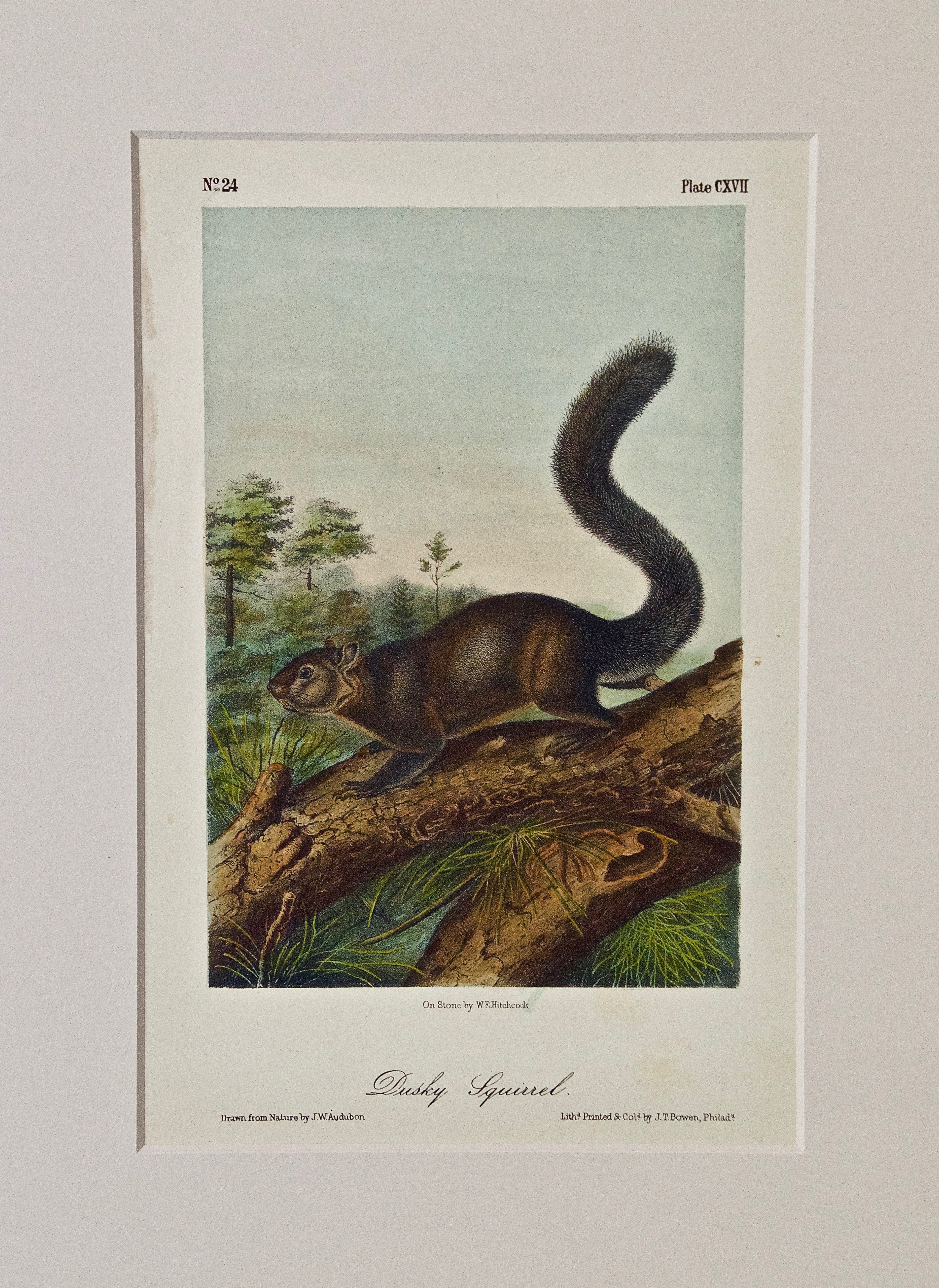 """Dusky Squirrel"" an Original Audubon Hand Colored Lithograph"