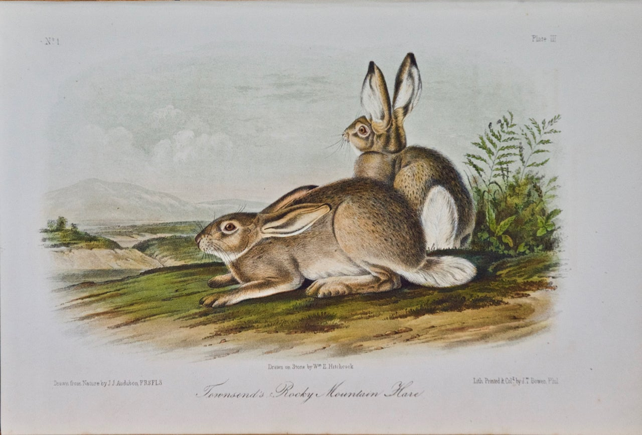 """""""Townsend's Rocky Mountain Hare""""an Audubon Hand Colored by J.T. Bowen Lithograph"""