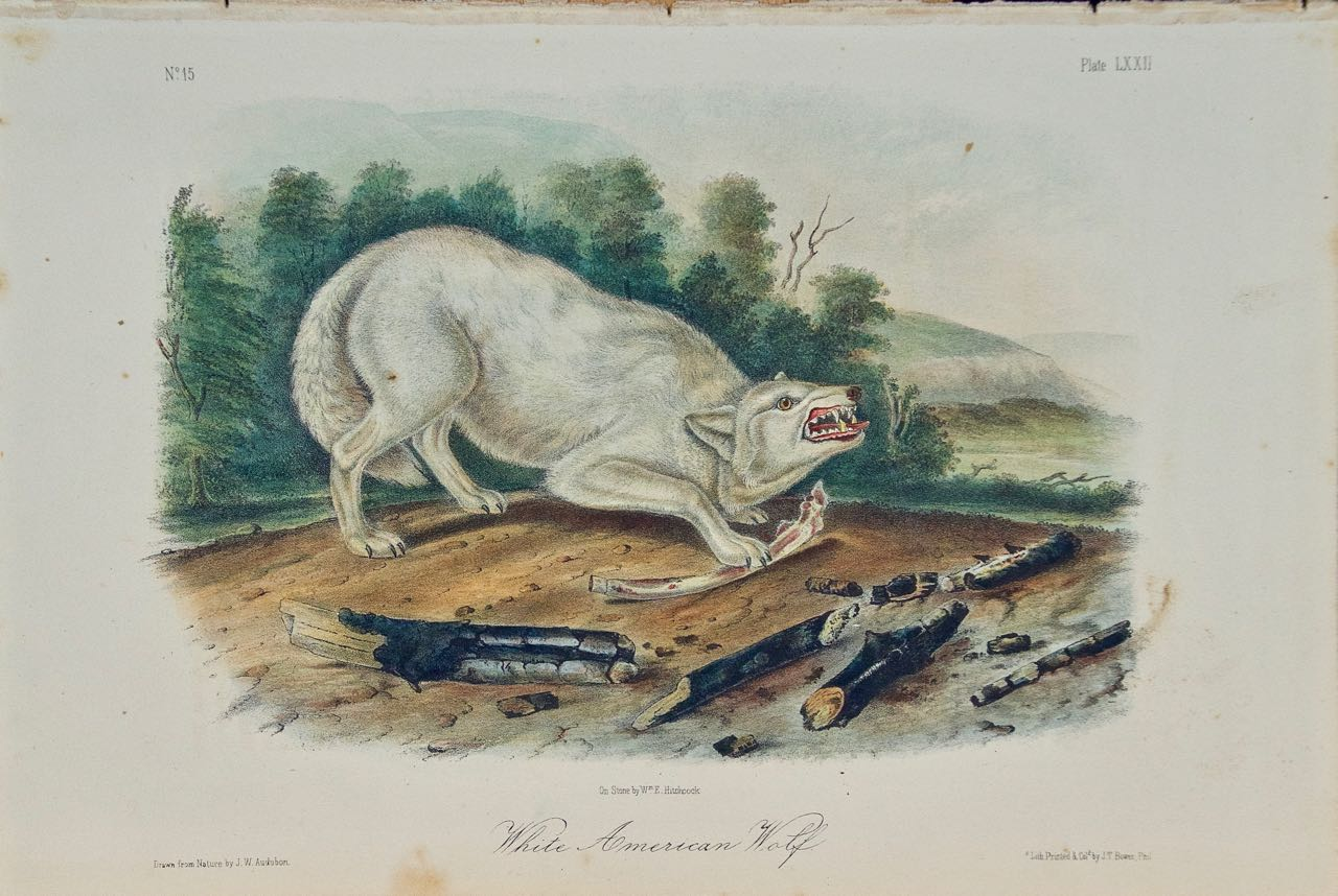 """White American Wolf"" an Audubon Hand Colored by J.T. Bowen Lithograph"