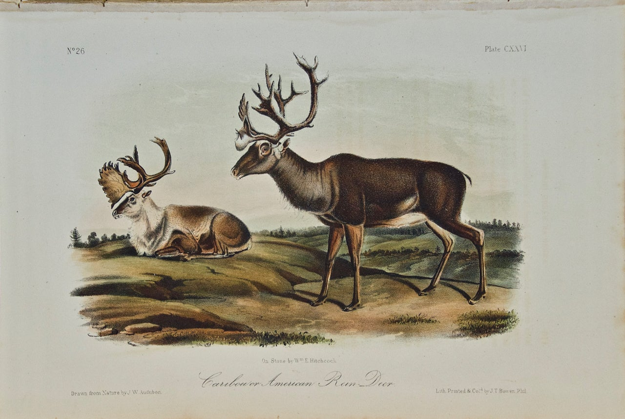"An Original Audubon Hand-Colored Lithograph of ""Caribou or American Reindeer"""