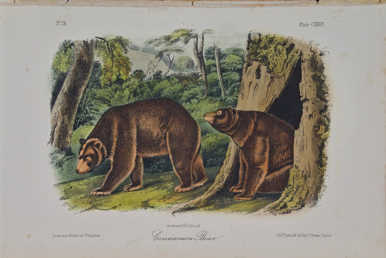 """Cinnamon Bear"" an Audubon Hand Colored by J.T. Bowen Lithograph"