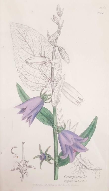 James Sowerby - Purple Bellflower 1