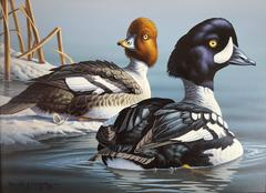 Ron Louque - Barrow's Goldeneye