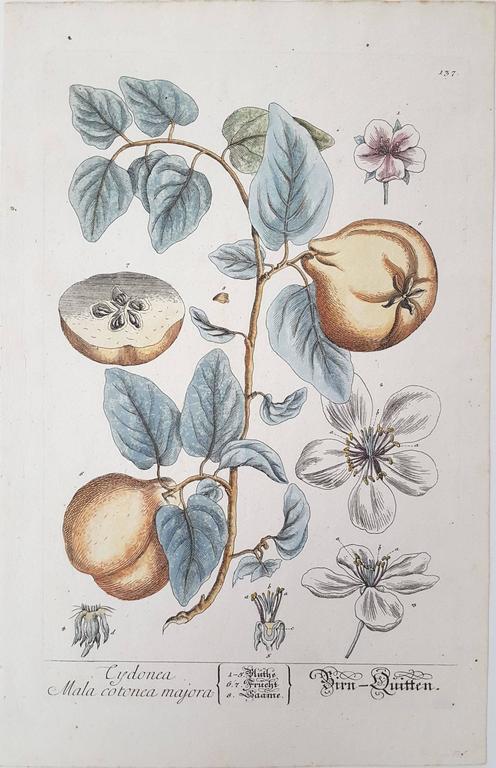 Elizabeth Blackwell Print - Quinces (Pears)