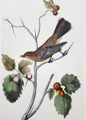 Townsend's Ptilogonys (Female)