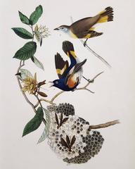 American Redstart, Virginia Hornbeam or Iron-Wood Tree