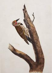 Missouri Red-Moustached Woodpecker