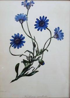 Amelloides (Blue Daisy)