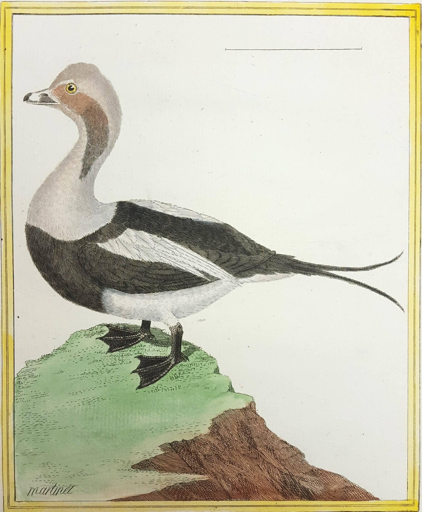 Canard de Miclon (Old Squaw)