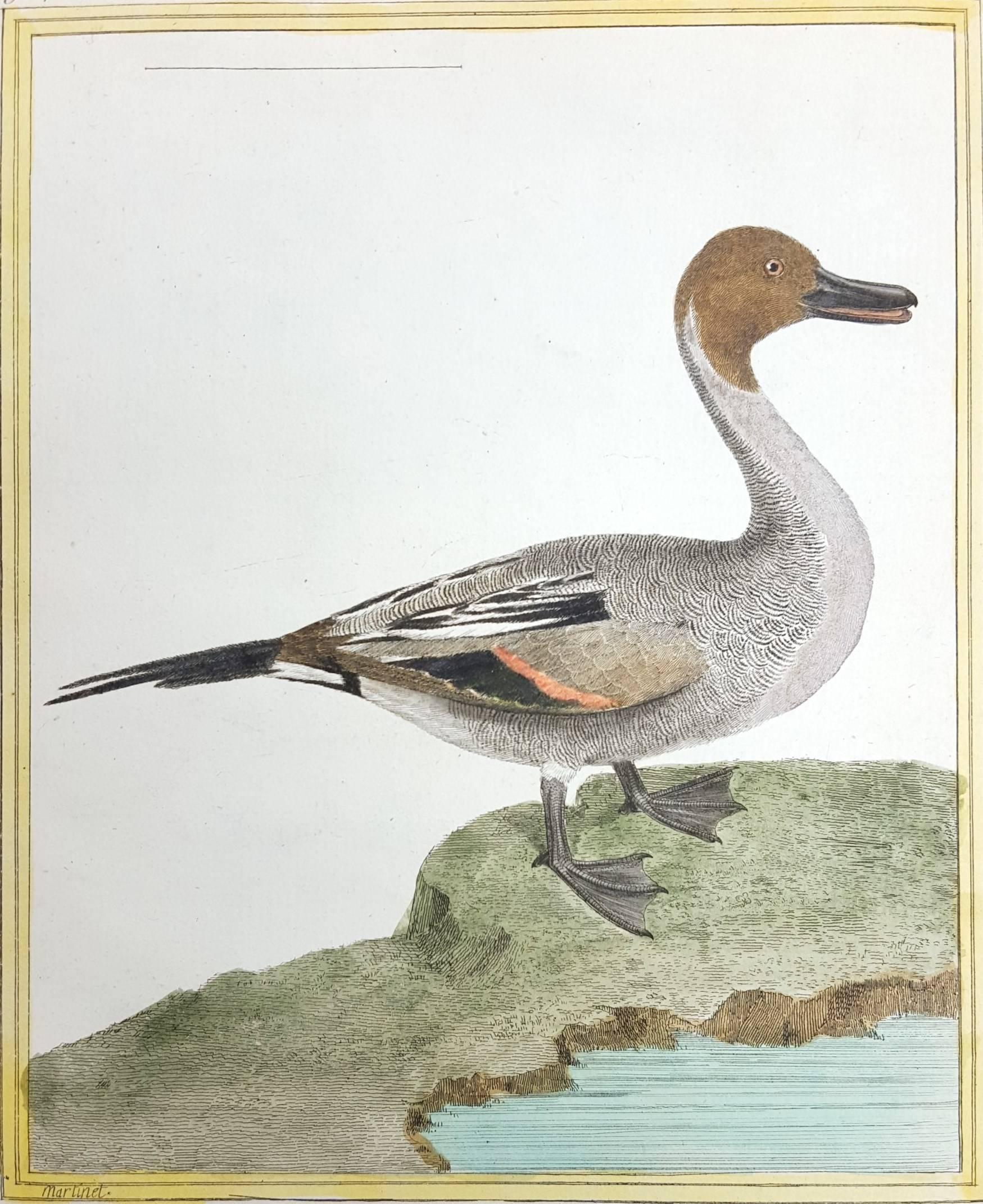 Le Canard a Longue Queue