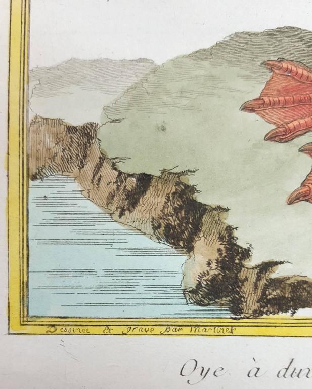 Oye a Duvet oe Eider male, du Dannemark - Naturalistic Print by Francois Nicolas Martinet