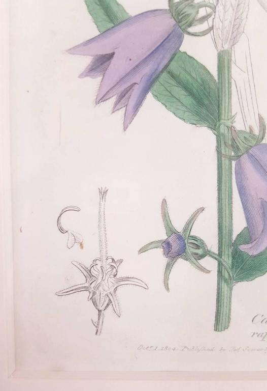 Purple Bellflower 3