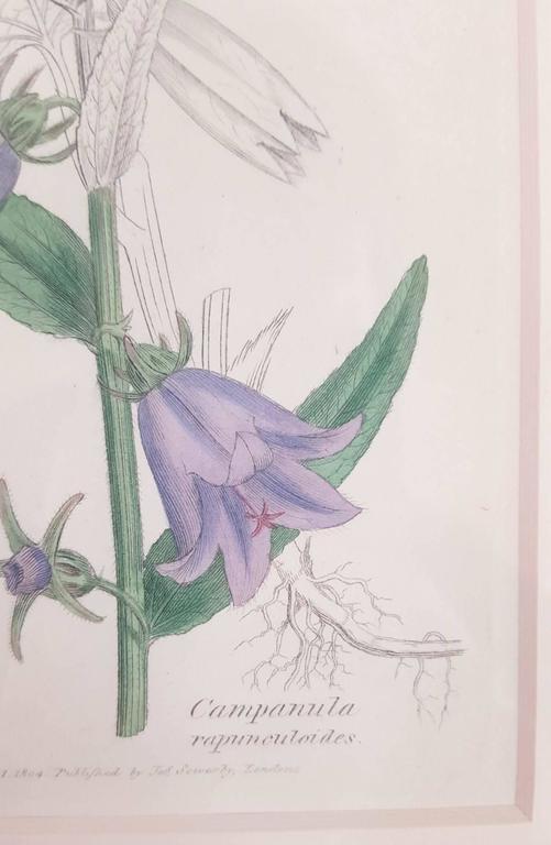 Purple Bellflower 4