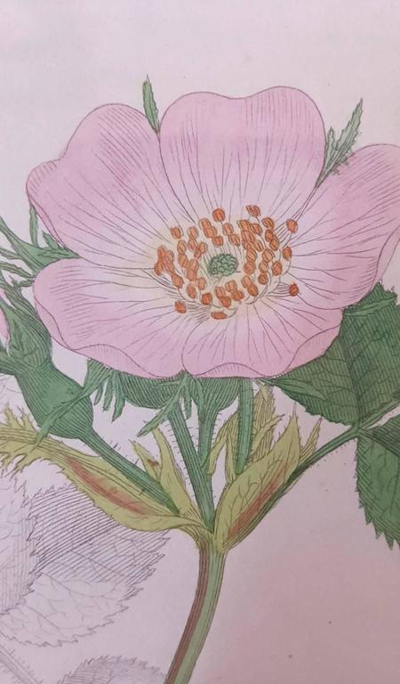 Wild Rose 8