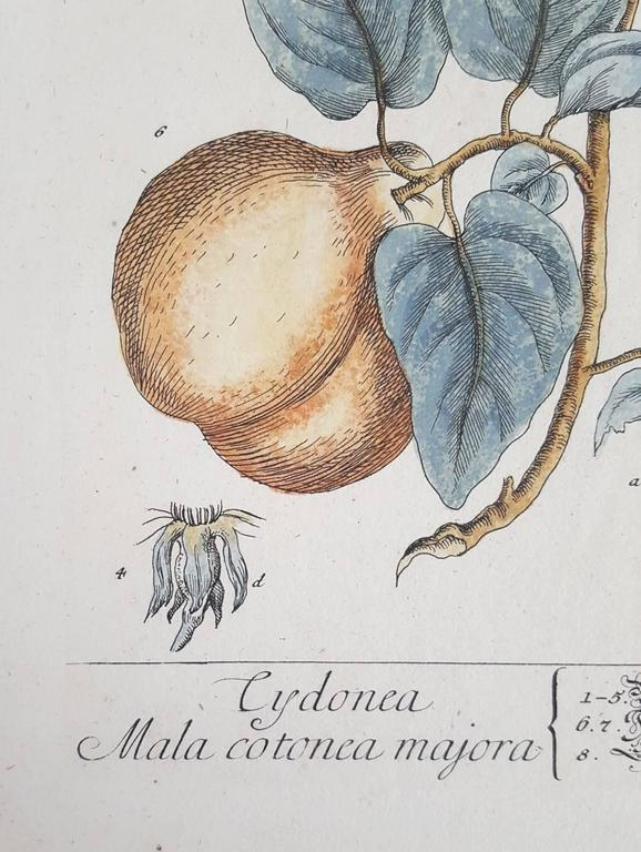 Quinces (Pears) - Print by Elizabeth Blackwell
