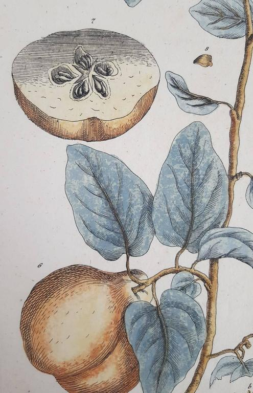 Quinces (Pears) - Gray Print by Elizabeth Blackwell