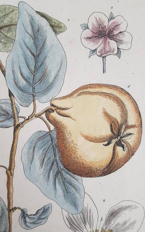 "An original hand colored copper plate engraving by Scottish artist Elizabeth Blackwell (1700-1758) titled ""Quinces"" (Pears), c. 1750. Quinces scientific name is ""cydonea mala cotonea majora"". Comes from 'Blackwellianum Emendatum"