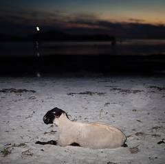 Sheep, Isle of Muck