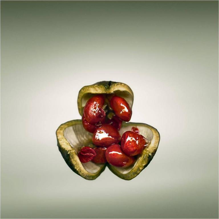 Svjetlana Tepavcevic Color Photograph - Means of Reproduction no. 1201 – PITTOSPORUM TOBIRA, Japanese Cheesewood
